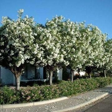PLANTA TÓXICA Nerium oleander, Espirradeira. (Oleander - TOXIC PLANT)