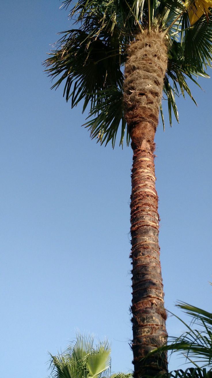 """Taille d'un palmier (trachycarpus fortunei) """"pelage du tronc"""""""