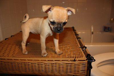"""Chug"" puppy - chihuahua pug mix. ::er mah gerd::"