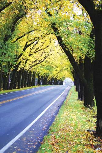 Canopy of Trees lining Hwy #29 on north side leaving St. Helena - one of my favorite drives in the fall!