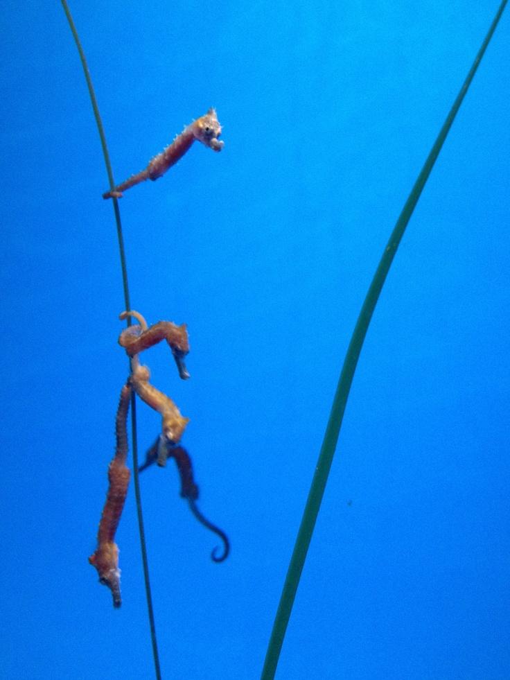 Seahorses