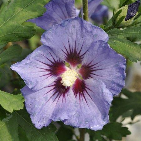 les 25 meilleures id es de la cat gorie arbuste fleurs bleues sur pinterest arbuste fleurs. Black Bedroom Furniture Sets. Home Design Ideas