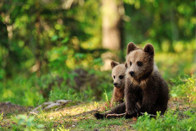 Małe misie kocha chyba każdy! #bear #forest #nature