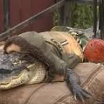 #birmingham Holiday Cheer: Rambo the motorcycling alligator allowed to stay with owner!  Forget all of the rest of 2016's 'Annus Horribilis', because rambo is riding free once more. Back in March of 2016, the story of Rambo the 'motorcycling alligator' gained international attention, it was a sad, woeful story and one in which it looked ...