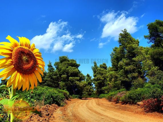 Looking the Sun,Fine Art Photography,home decor,travel photography,sunflower
