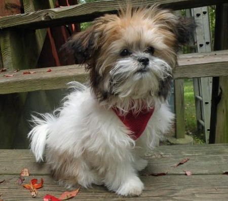 Is this too cute...Lola the Shih Tzu/poodle mix
