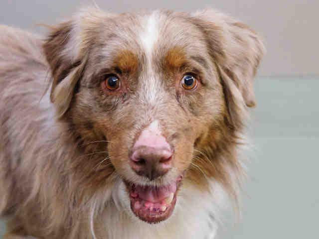 GARTH - ID#A0747112.  I am a neutered male, red merle Australian Shepherd (Purebred).  The shelter thinks I am about 6 years old.  I have been at the shelter since Nov 08, 2016. Dumb Friends League Denver offers animal adoption services. We have dogs, cats, puppies, and other mammals available for adoption! Stop in now to bring a loving pet home with you!