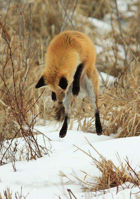 We have lift-off! ~ photographer Jerry Hull    . . . .   ღTrish W ~ http://www.pinterest.com/trishw/  . . . .  #fox #nature #photography