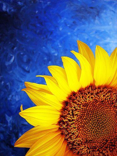prettylittleflower:    Vivid Sunflower (by a m photography)