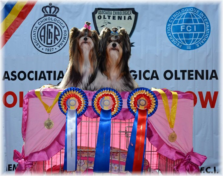 Deborka.cz - Biewer Yorkshire a la Pom Pon New Champion of Romania! New GRAND Champion of Romania! New Junior Champion of Romania!