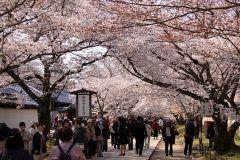 京都で桜を見るなら京都市伏見区の醍醐寺はおすすめですよ(o) 花見シーズンになると多くの人々で賑わう人気スポット その綺麗さは日本さくら名所100選にも選ばれているほど 広い境内には約1000本もの桜が咲いていて京都最古の建築物五重塔と桜の組み合わせは和の心を感じさせてくれます   tags[京都府]