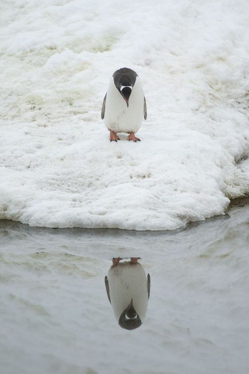 A penguin admires his reflection in Neko Harbour, Antarctic Peninsula. August 18th - Anthony Pierce/Barcroft Media