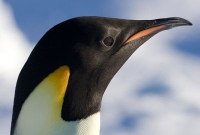* Pinguim-Imperador * (Aptenodytes forsteri).
