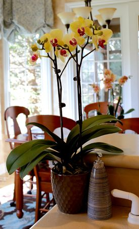 Orchid Care for Light, Temperature & Humidity
