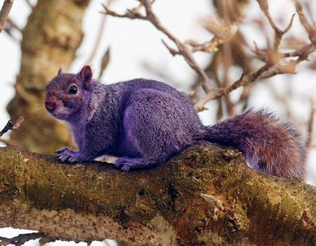 Purple squirrel. This is no real squirrel, it is photoshopped.!!