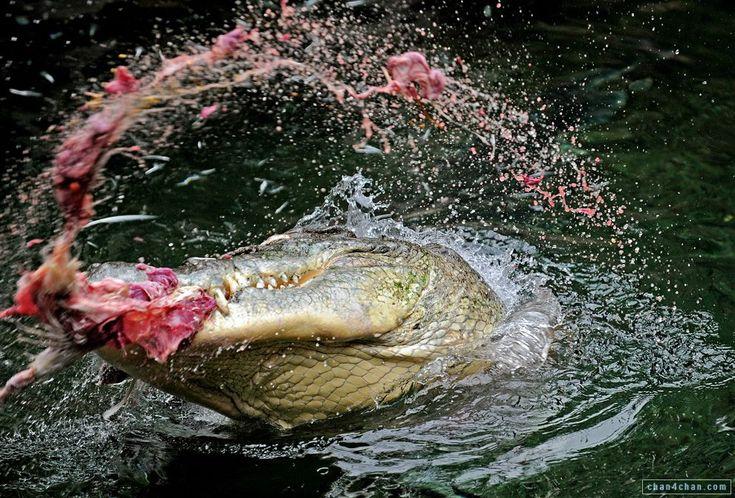 alligators and crocodiles   Eat alligator crocodile nature photo