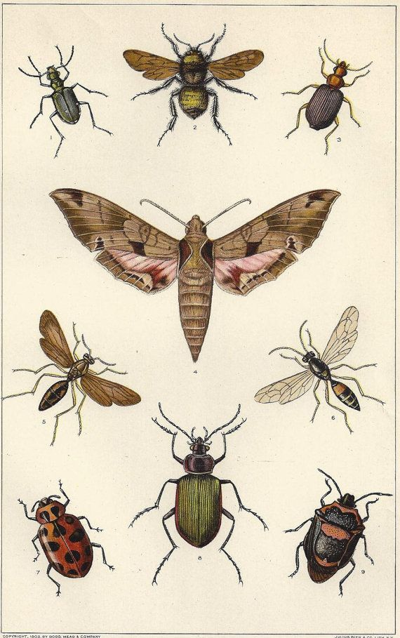 Antique Insects print Moth Bumblebee Beetle Fly Wasp Bugs Entomology 1909 Lithograph Beautiful to Frame