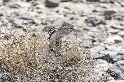 barbary ground squirrel - typical of fuerteventura - wildlife