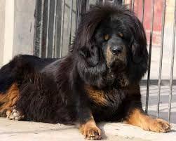 tibetan mastiff attack - Google Search