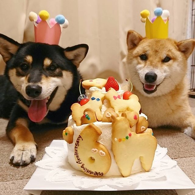 6thWedding Anniversary #weddinganniversary #6th#anniversarycake #結婚記念日#6周年 ほんとは6月8日が結婚記念日です だいぶ遅れたね(笑) 甘党なので毎年必ずケーキは食べます ふたりにお祝いしてもらったよ #柴犬多頭飼い #柴犬抹茶 #柴犬黒蜜 #チーム唐草 #アミアミ怖い部 #shiba_snap #わんだフォ#いぬら部#pecoいぬ部 #shiba#shibalovers#shibainu #dogstagram#shibastagram #shibamania#shibalife #shibalove #犬のいる暮らし #赤柴#黒柴#柴犬#柴犬マニア #わんこLIFE最高#柴生活 #みんなに元気玉 #Reg