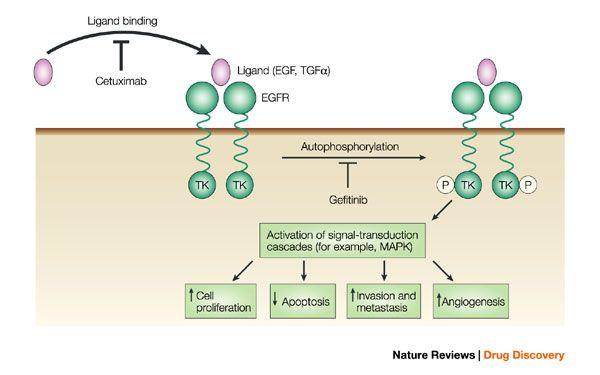 Výsledek obrázku pro cetuximab mechanism of action