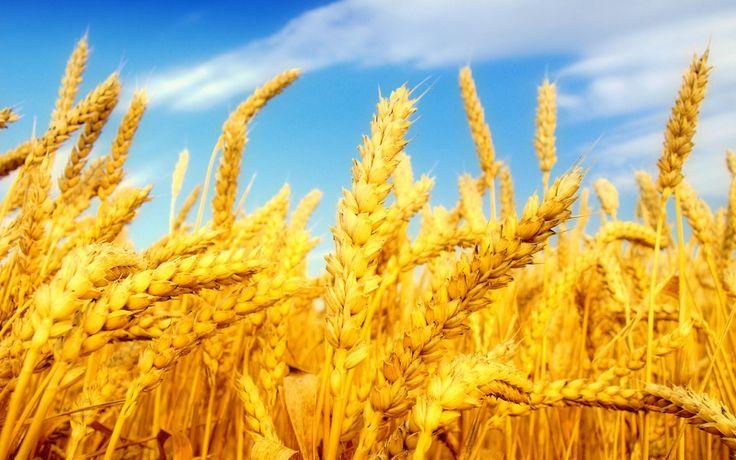 wheatfully