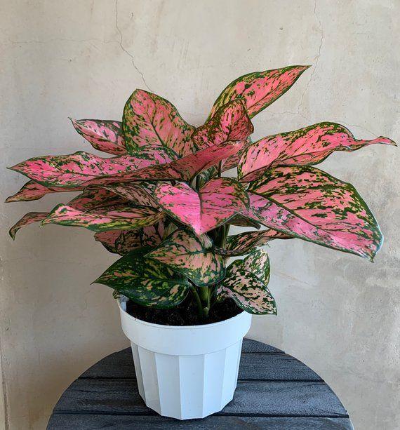 /'Chinese Evergreen/' Aglaonema /'Lady Valentine/'