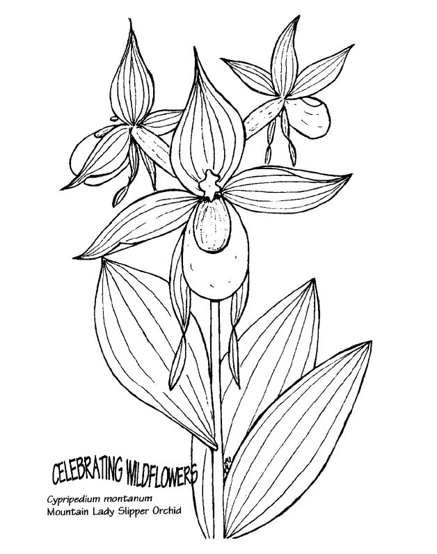 Mountain Lady Slipper Orchid Free Coloring Pages for Kids - Printable Colouring Sheets