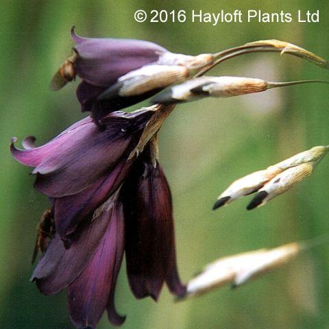 Buy Dierama pulcherrimum Merlin Online | Hayloft Plants