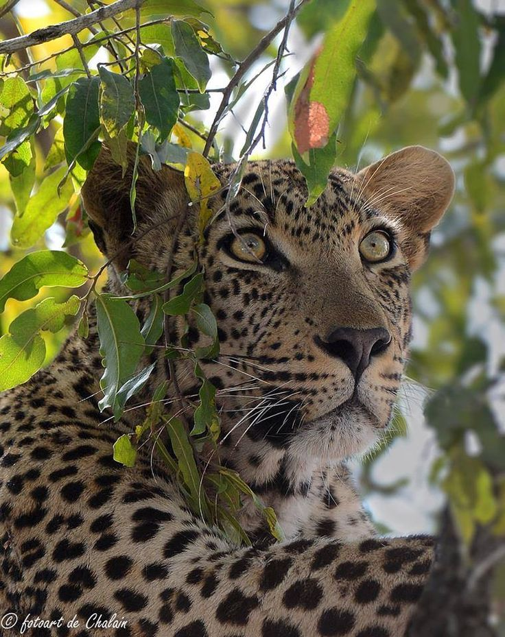 Kruger Park Top 10 Leopard in a Tree