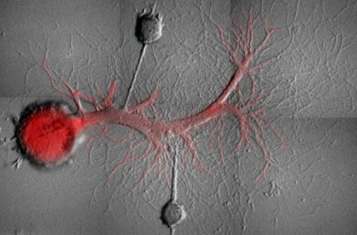 Two Aplysia sensory neurons with synaptic contacts on the same motor neuron in culture after isolation from the nervous system of Aplysia. The motor neuron has been injected with a fluorescent molecule that blocks the activity of a specific Protein Kinase M molecule.