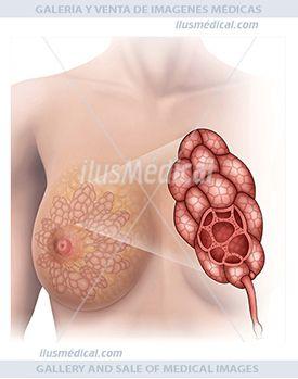 ilustración anatomía y fisiología del lóbulo mamario. Entre quince a veinte lóbulos mamarios conforman la ....