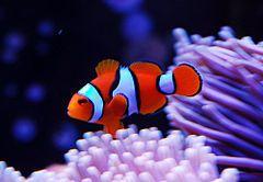 Peixe-palhaço- percula ( Amphiprion percula)