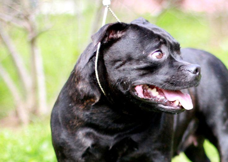 Türkiye Champion AL'MIRA Puppy and breeding contact: Bosphorus Bulls / Facebook Youtube videos: Bosphorus Bulls Kennel Twitter: Bosphorus Bulls Kennel