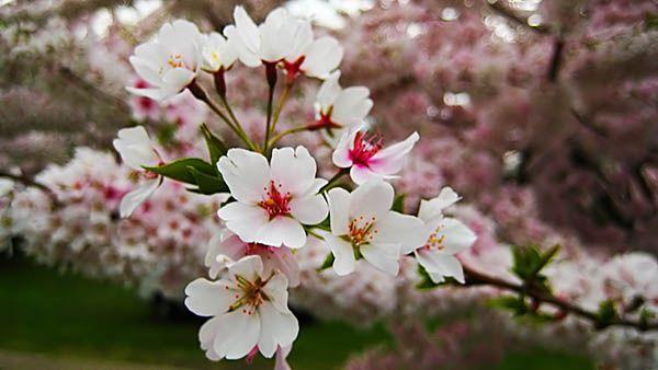 Sakura-Flower-Wallpaper-3.jpg (600×338)