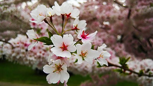 Sakura-Flower-Wallpaper-3.jpg (600×338)