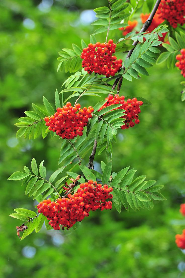 best growing i need rowan trees images on pinterest outdoor