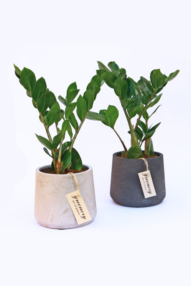 Zamioculcas #greenery #pots #planters #airplants #succulents #cactus #plants #chania #greece