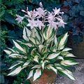 Hosta fuego y hielo semillas sombra perennes plátano flor del lirio Bonsai jardín de su casa cubierta de tierra de semillas de plantas - 50 unids/lote