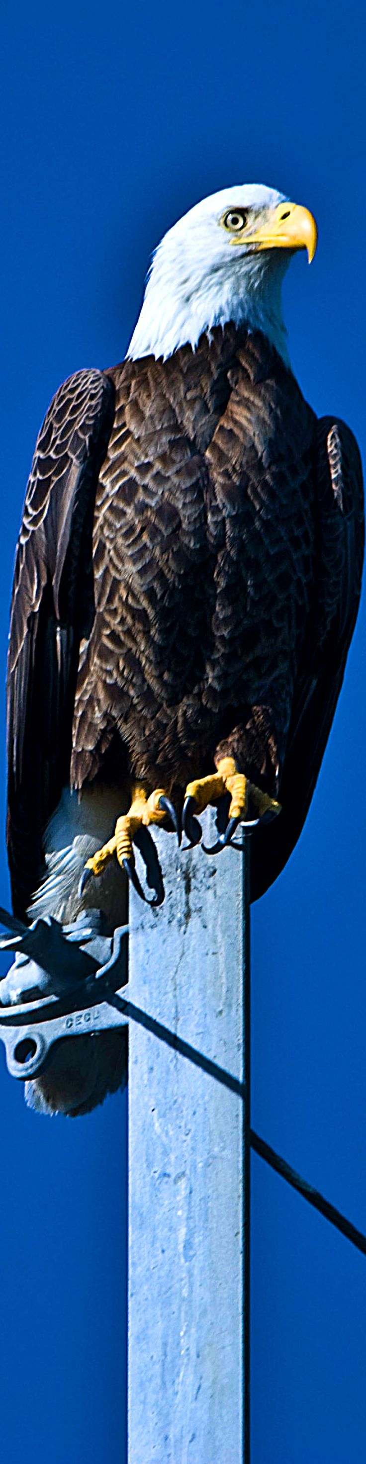 best 25 pictures of bald eagles ideas on pinterest bald eagle