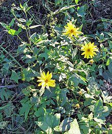 """#Topinambur – Wikipedia  """"Topinambur [topinamˈbuɐ][1] (Helianthus tuberosus) ist eine Pflanze aus der Familie der Korbblütler (Asteraceae) und zählt zur selben Gattung wie die Sonnenblume (Helianthus annuus). Sie ist eine Nutzpflanze, deren Wurzelknolle primär für die Ernährung genutzt wird."""""""