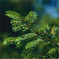 Red Spruce leaf(needles)