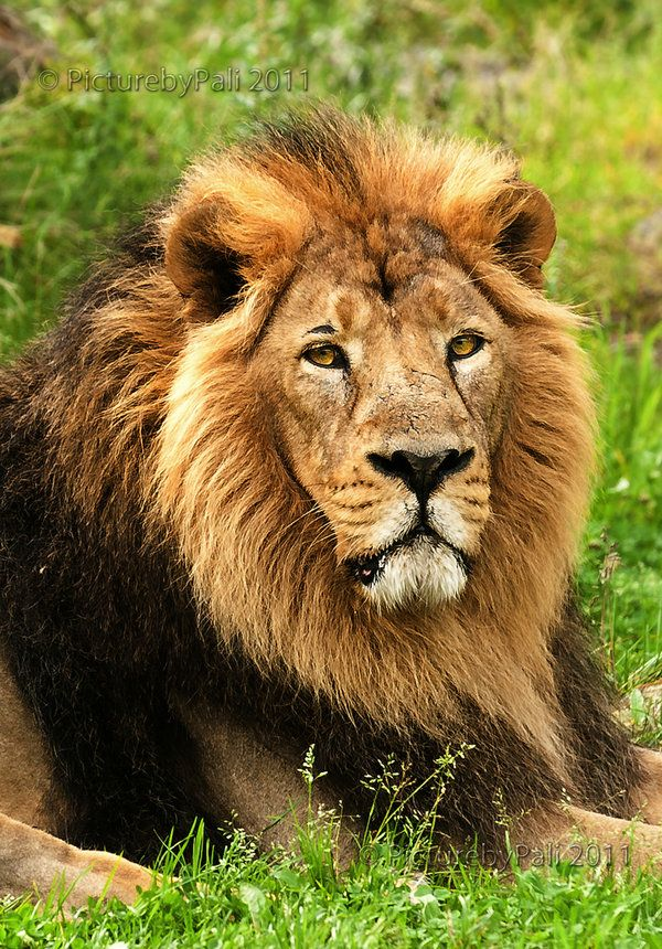 ♕ M - Asiatic lion endangered species  What a magnificent animal!!!!!!!!
