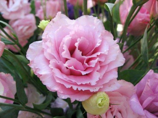 Эустома — выращивание королевы букетов.  Ирландская роза, элегантная и изысканная эустома знавала и периоды всеобщего восхищения, и почти забвения. Но сегодня она вновь популярна и любима. Фото: © Shihmei Bargerx
