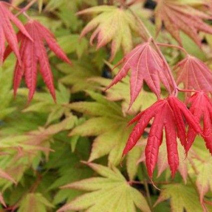 Acer shirasawanum 'Moonrise' - Trees for Containers - Trees - Avant Gardens…