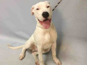 04/20/2017 SUPER URGENT ADOPT PUPPY DAPPER TO BE DESTROYED NYC, 5-6 months old, ex-pet, happy, active male puppy dog, allowed all handling, healthy, microchipped, needs further  training, house trained, quite socialised, knows basic commands.