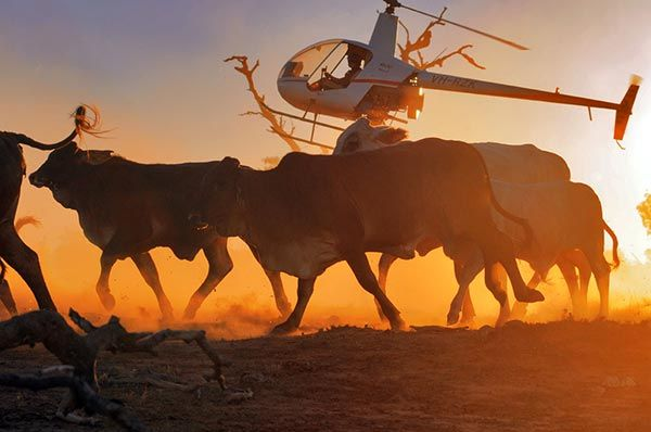 Helicopter mustering, cattle station
