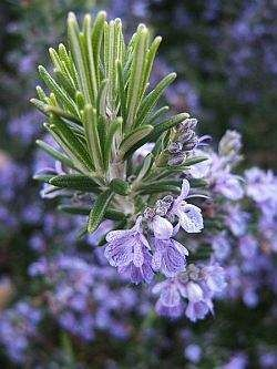 Розмарин - род травянистых растений из семейства яснотковых. Розмарин делится на 3 вида, один из которых - розмарин лекарственный выращивают в качестве пряновкусовой и лекарственной зелени.