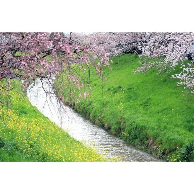 春の小川に桜と菜の花がきれいに咲いていました。  #flowers #flower #flowerslovers #花 #きれい #桜 #しだれ桜 #菜の花 #小川 #川 #japan #写真好き #自然 #nature #cute #春 #4月 http://gelinshop.com/ipost/1524314079824926282/?code=BUnc5RWF1ZK