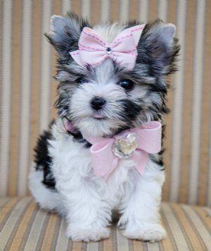 teacup #morkie #dogs #cute !!!!!: Teacups Morki, Teacups Biewer, Biewer Yorkie, Teacups Yorkie, Cutest Dogs, Pink Bows, Morki Puppies, Morki Dogs, Animal